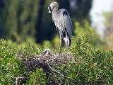 great blue heron mother and chick