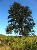 040815 Oak Tree