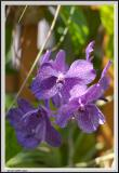 Blue Lillies - CRW_1286 copy.jpg