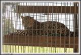 Leopard - CRW_1401 copy.jpg