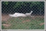Tiger White - CRW_1354 copy.jpg
