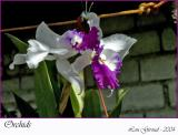 Orchids - December 23-04