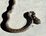 Snake.6297