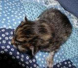 6. brown mac tabby girl ( torbie?)  - ruskeatiikeri (kilpikonna?) tyttö