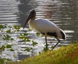 Stork 2133