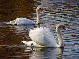 Swans 2253