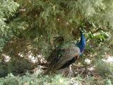 One of the many Peacocks that wander around the Arboretum grounds...