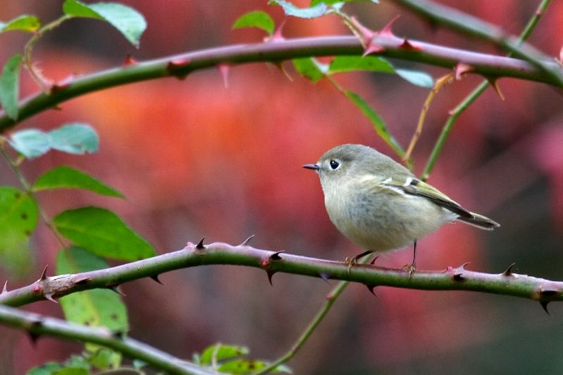 Ruby-crowned Kinglet Female