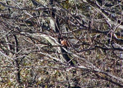 Ruddy Ground-Dove - MS -McKee