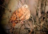 Ruddy Ground-Dove - MS - 12-17-04 G. Knight.jpg