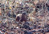 Ruddy Ground-Dove - JRW - 12-19-04 -