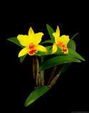 Lc. Angel Love x Pot. Little Toshie 'Yellow Bird'