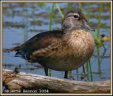 Canard branchu (Wood Duck) juv.