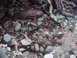 Rusty roots, blue cobblestones and rounded coral at Blue Cobblestone Beach