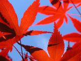 19 Oct 04 - Japanese Maple