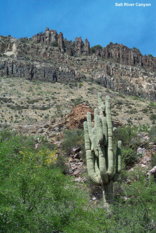 Saguaro in Salt River Canyon