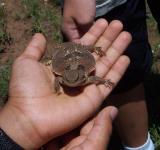 Horned Toad Lizard