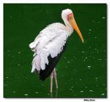 Milky Stork