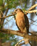 red shoulder hawk on branch44.jpg