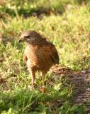 red shoulder hawk on ground.jpg