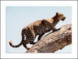 Leopard, Botswana, November 1998
