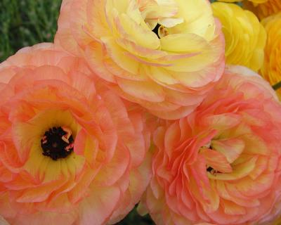 Ranunculus Flowers from My Yard