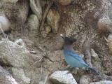 Steller's Jay with lunch