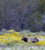 4357-Elk.jpg