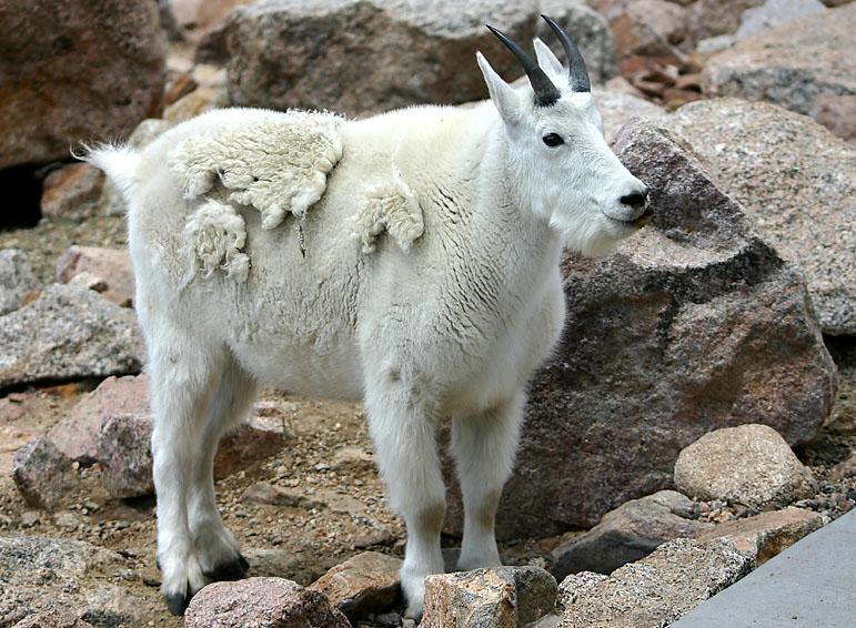 Mountain goat at Mount Evans