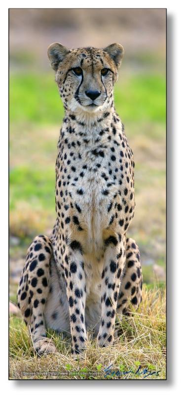 Cheetah: Stitch