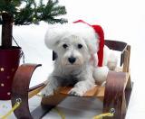Dec. 21, 2004 - A Westie Christmas to you