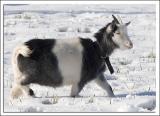 Greta_goat_DSC6687.jpg