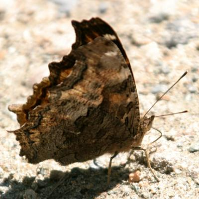 Compton Tortoiseshell - Nymphalis vaualbum, summertime