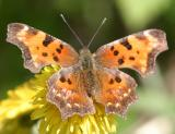 Green Comma - Polygonia faunus  (spring)