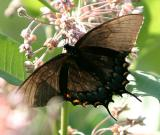 Eastern Tiger Swallowtail (dark form) - Papilio glaucus