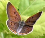 Bog Copper - Lycaena epixanthe