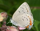 Acadian Hairstreak - Satyrium acadica