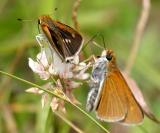 Two-spotted Skipper - Euphyes bimacula