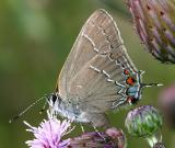 Northern Oak Hairstreak - Fixsenia favonius