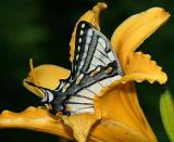 Canadian Tiger Swallowtail - Papilio canadensis in a day lily