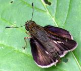 Little Glassywing - Pompeius verna, male