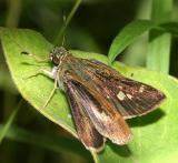 Little Glassywing - Pompeius verna, female