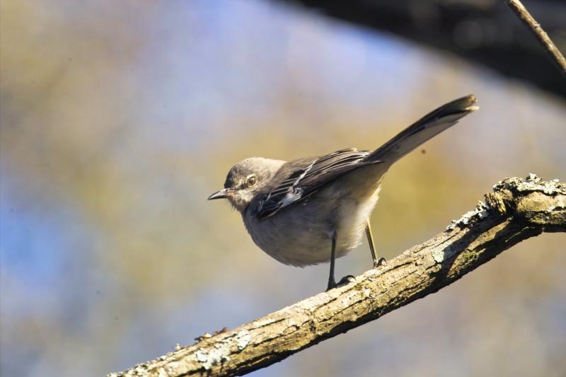 Northen Mocking Bird