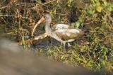 Juvinile White Ibis