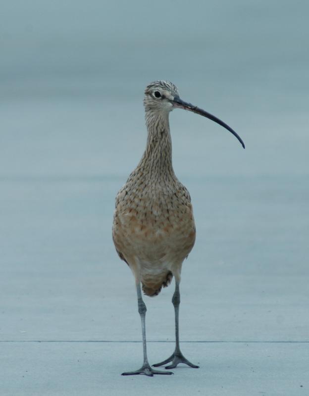 Birds/Pipe Dipperedipper