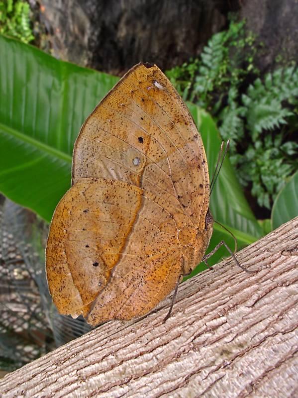 Indian Leaf
