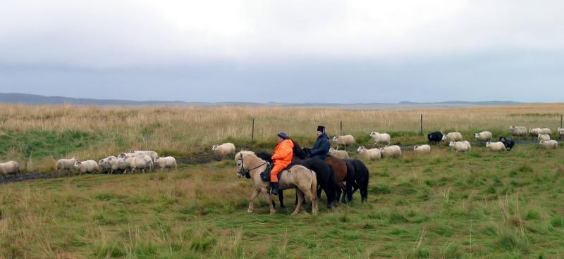 Shepherds on Icelandic horses