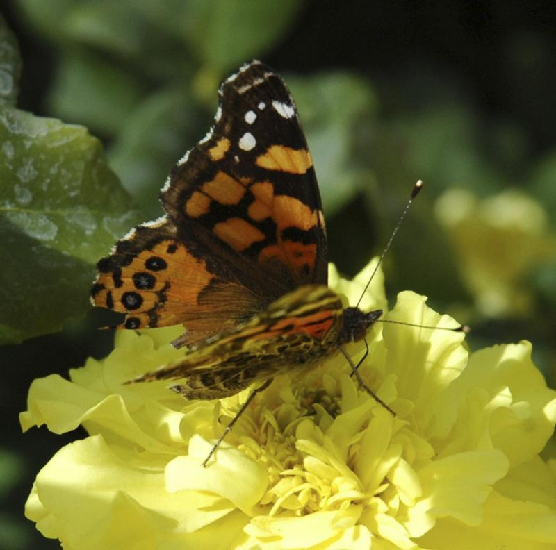 ISU campus butterfly near PSUB DSC_0069.jpg