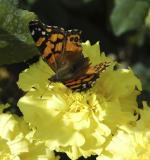 ISU butterfly DSC_0067.jpg