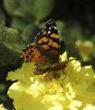 ISU campus butterfly DSC_0068.jpg